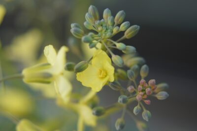 ブロッコリーが黄色や茶色に変色する原因は?